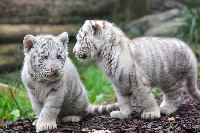 baby-white-tiger-wallpapers-hd .