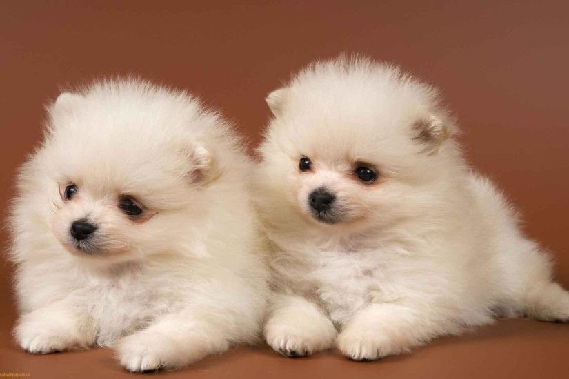 Cute Puppies Wallpaper Backgrounds