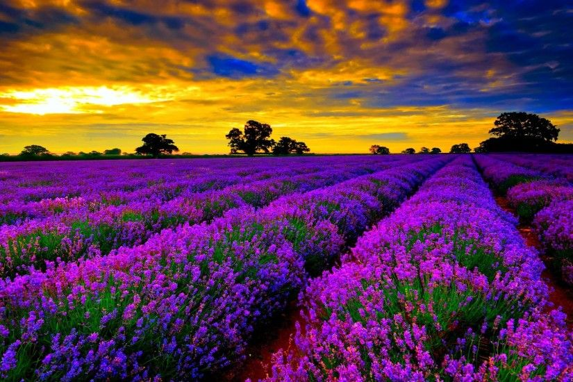 most beautiful field of lavender flowers widescreen desktop wallpapers hd  4k high definition windows 10 colourful images backgrounds download  wallpaper ...
