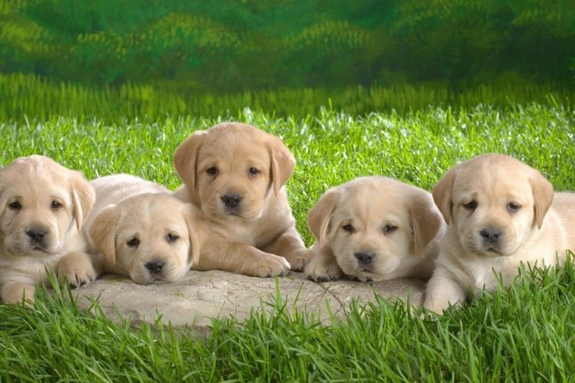 Labrador Dog Cute Puppies Wallpaper HD