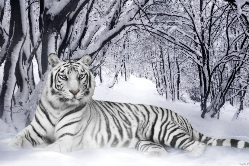 white tiger HD Wallpapers Download Free white tiger Tumblr - Pinterest Hd  Wallpapers