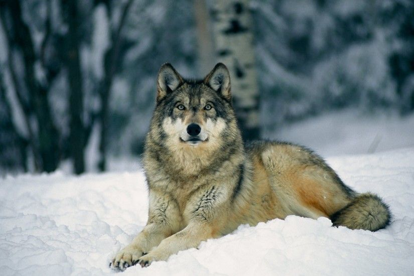 Wolf-Serbia National Animal