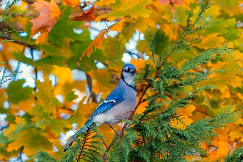 Blue Bird, Tree, Autumn, Standing, Birds