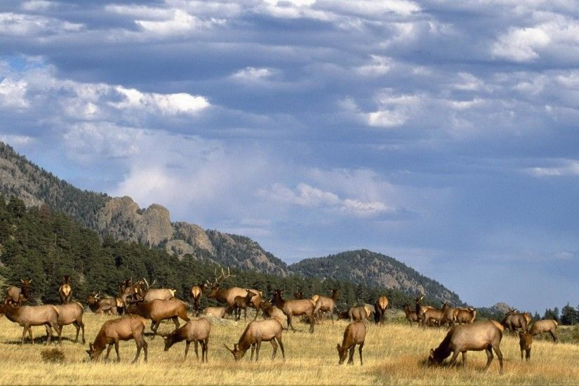 wallpaper.wiki-Photo-of-Bull-Elk-PIC-WPB0013344