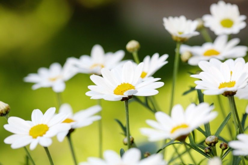 Awesome-daisies-wallpaper