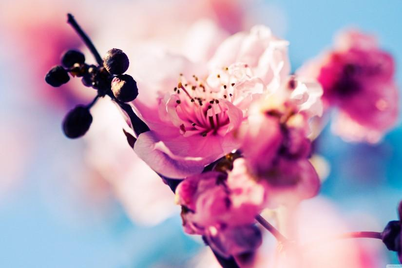download cherry blossom wallpaper 3554x1999 for mobile