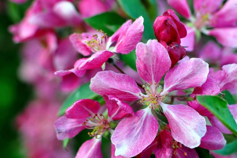 Pink apple blossoms wallpaper
