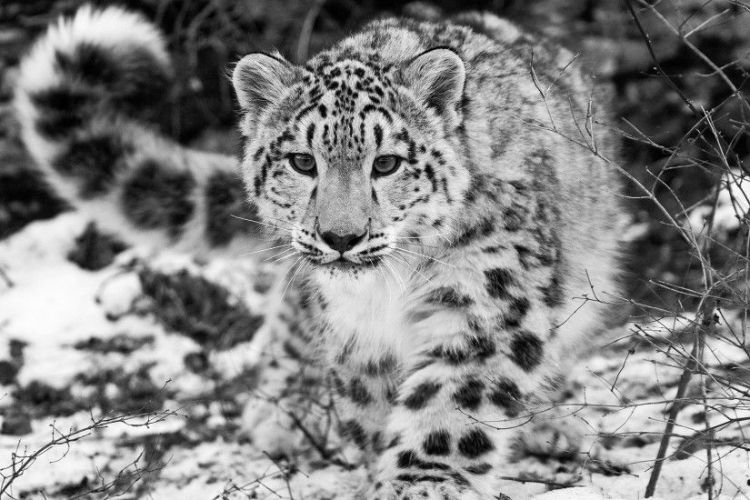 Download Wallpaper 1920x1080 snow leopard, snow, hunting, attention, black  and white Full HD 1080p HD Background