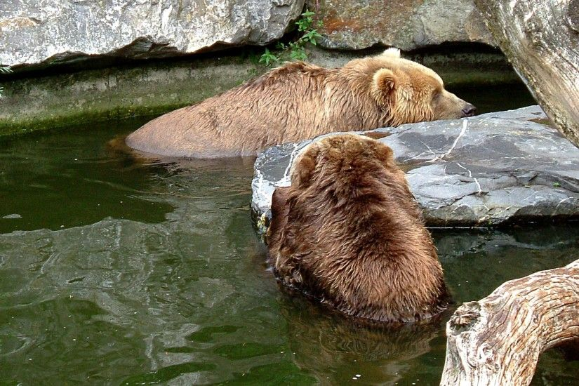 HD wallpaper two brown bears in the water