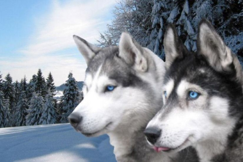 White And Grey Siberian Husky. Siberian husky Siberian Huskies Wallpaper