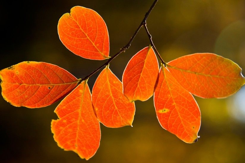 Backlit fall leaves Wallpaper Autumn Nature Wallpapers