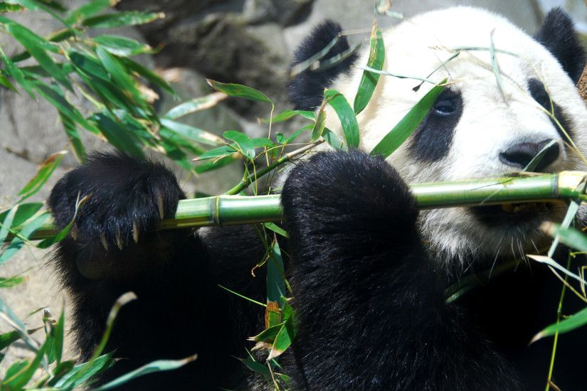 Panda bear playing flute wallpaper