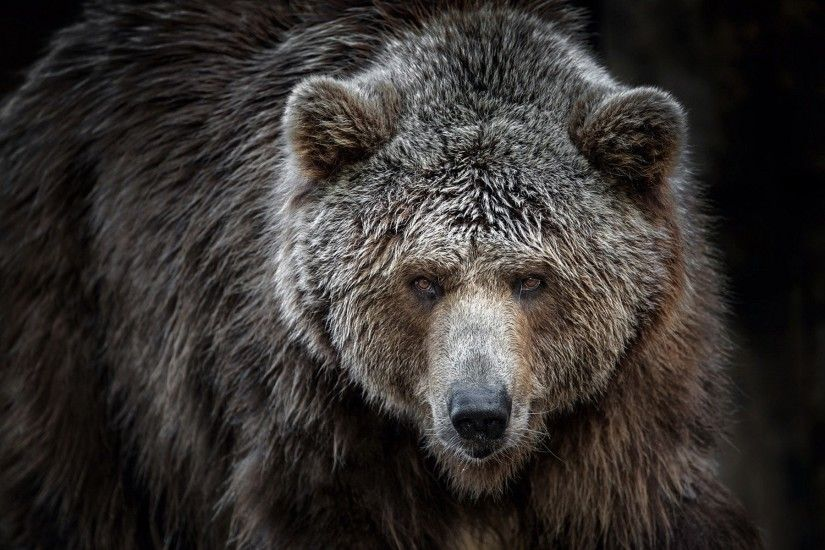 General 1920x1200 animals bears Grizzly Bears