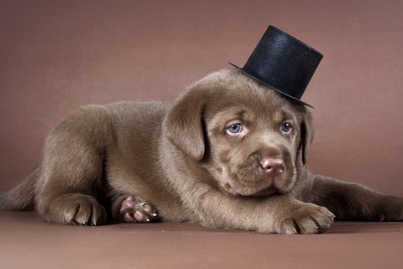 Preview wallpaper puppy, labrador, hat, dog 1920x1080