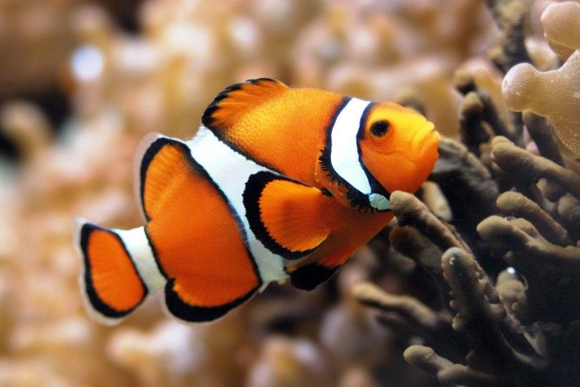 Most Downloaded Clown Fish Wallpapers - Full HD wallpaper search