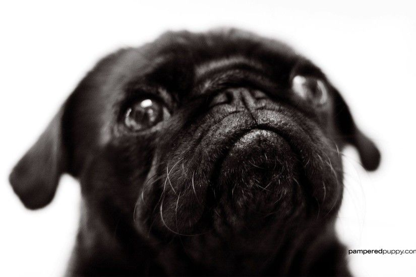 Muzzle Pug Desktop Wallpapers 1280x1024 | Nupemagz