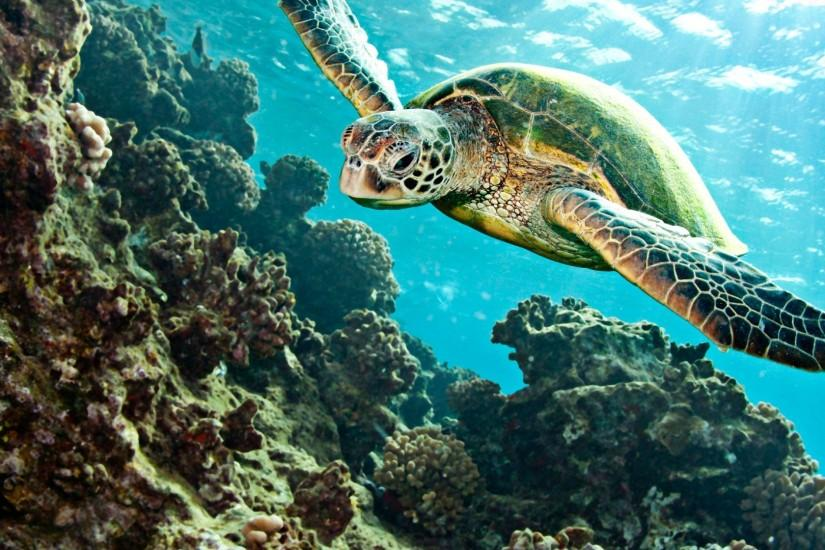 Turtle Tortoise Underwater Ocean wallpaper