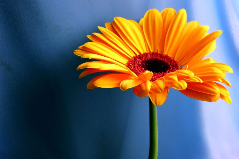 Full HD 1080p Orange Flower Desktop Wallpaper