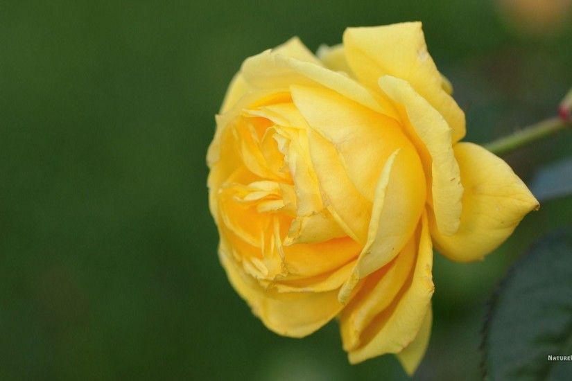 Yellow Rose Wallpapers 12 | WallPaper Glow