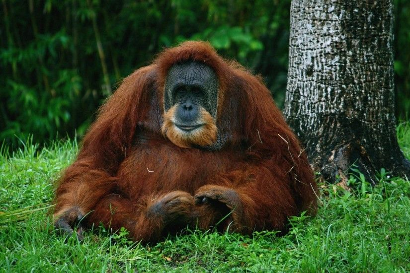 Orangutan Computer Wallpapers, Desktop Backgrounds 2048x1365 Id ..