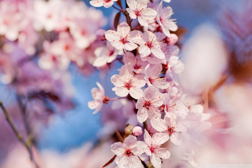 download free cherry blossom wallpaper 1920x1200 smartphone