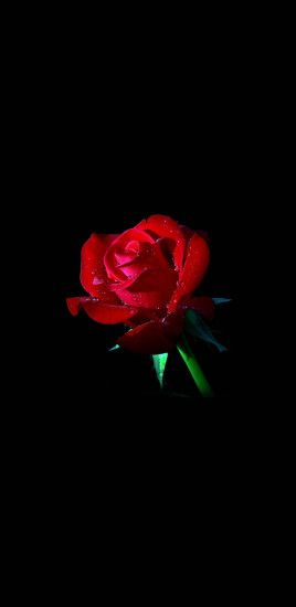 Red roses black background Galaxy Note 8 Wallpaper