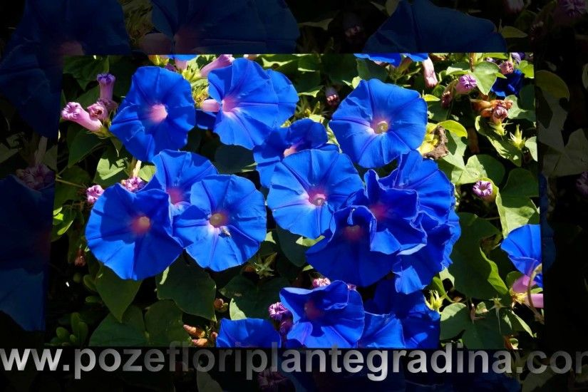 download beautiful blue flowers wallpapers hd poze cu flori albastre  imagini desktop - YouTube