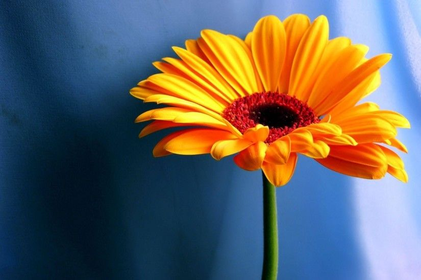 Orange Gerbera Daisy Wallpapers - HD Wallpapers 15551