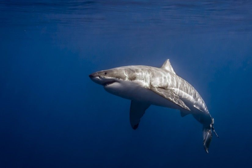 great white shark pic free hd widescreen - great white shark category