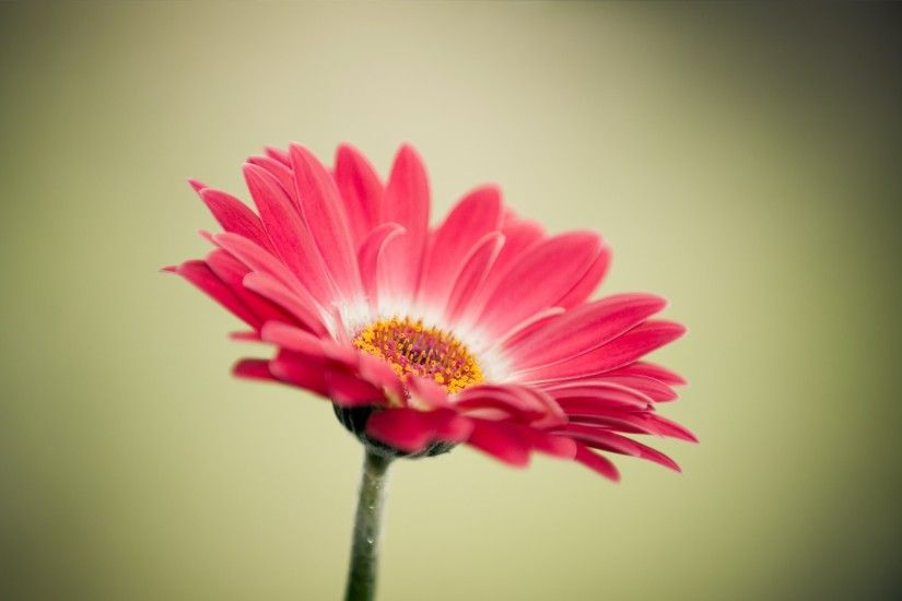 gerbera cartoon 1920×1200 wallpaper media. ««