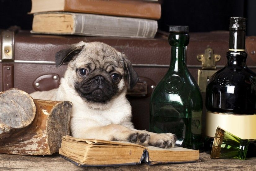 Pictures HD Pug Wallpapers.