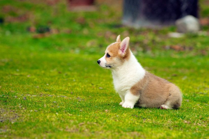 tan and white cardigan welsh Corgi puppy on grass field in selective focus  photography, puppies