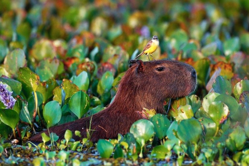 Capybara High Quality Wallpaper #402593387