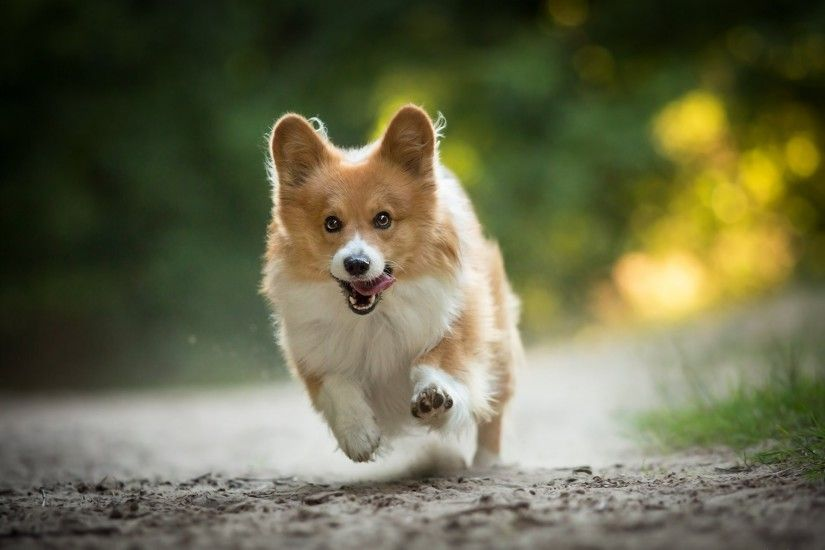 welsh corgi dog walk running happiness mood