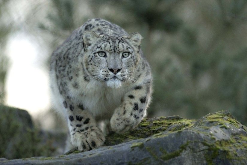 High Resolution Wallpapers snow leopard wallpaper, Seager Hardman 2017-03-05