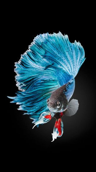 Betta Fish Wallpaper iPhone 6 And iPhone 6s HD