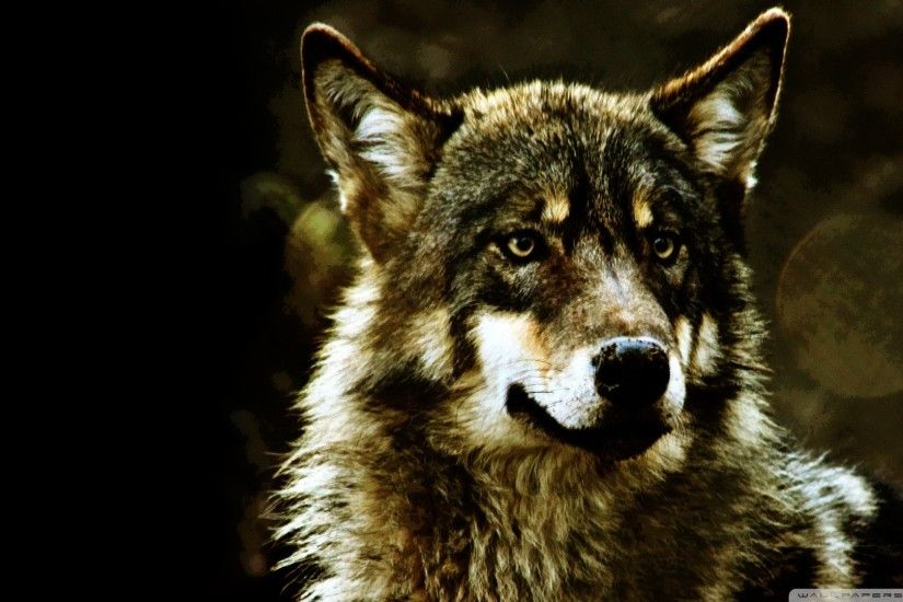Wolf Wallpaper Wild Wolf Animal Wallpapers Gallery