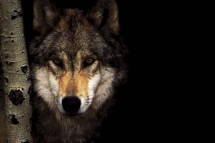 Wolf Wallpapers x Wallpaper 1920×1080