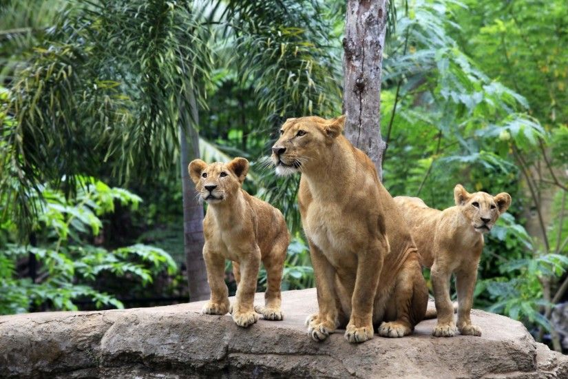 Related. Lion Family Baby Lions Wallpaper