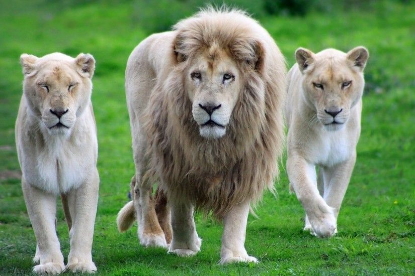 21 White Lion HD Wallpapers | Backgrounds - Wallpaper Abyss ...