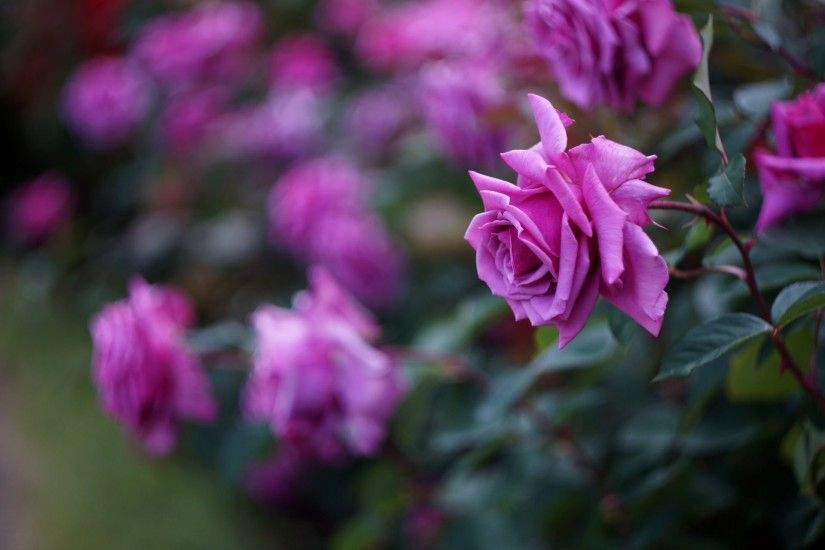Flower Wallpaper Beautiful Purple Rose high quality