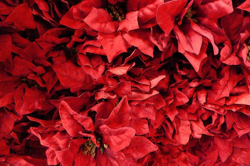 Poinsettia Background For Christmas
