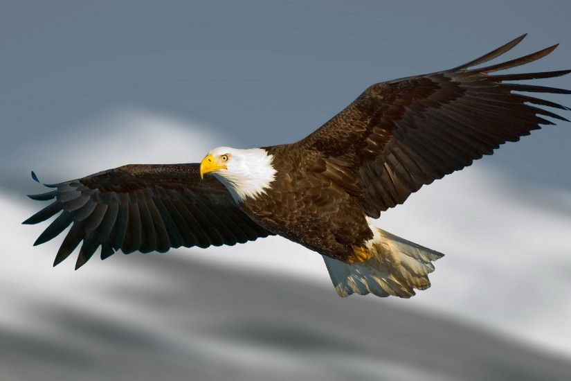 Beautiful Bald Eagle Flying HD Image