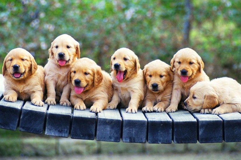 Golden Retriever Puppies in the bridge - Hd Wallpaper Season