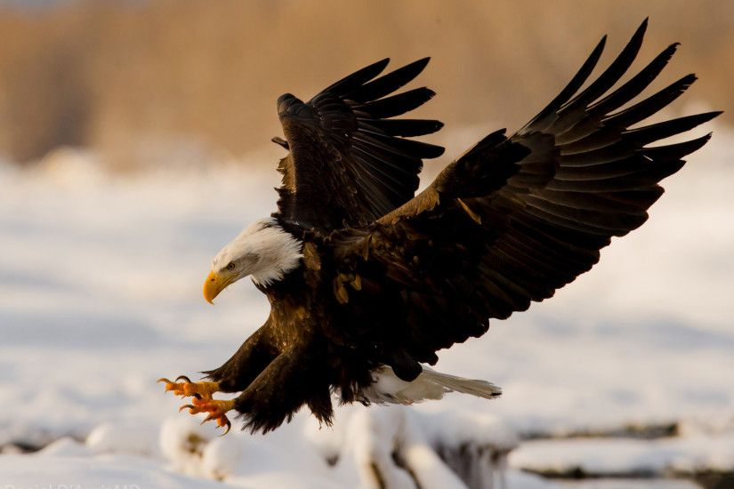 Bald Eagle Desktop Wallpaper 50053