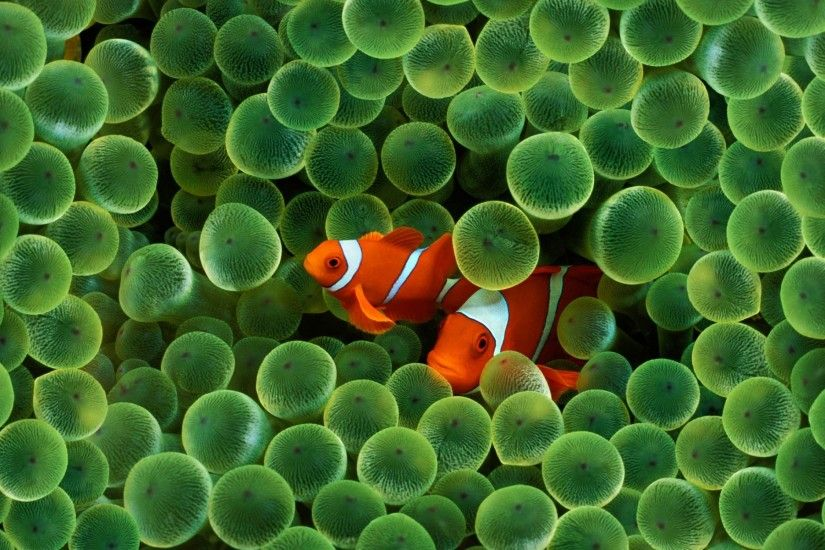 Download Fish Wallpapers wallpaper, 'apple clown fish wallpaper'.