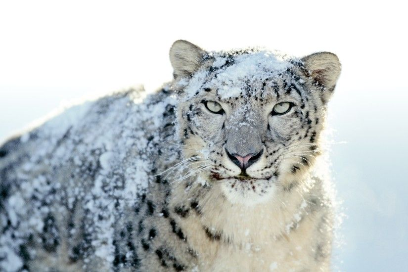 snow Leopards, Apple Inc., Animals, Leopard Wallpapers HD / Desktop and  Mobile Backgrounds