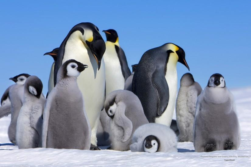Emperor Penguin u2013 The Big Huddle