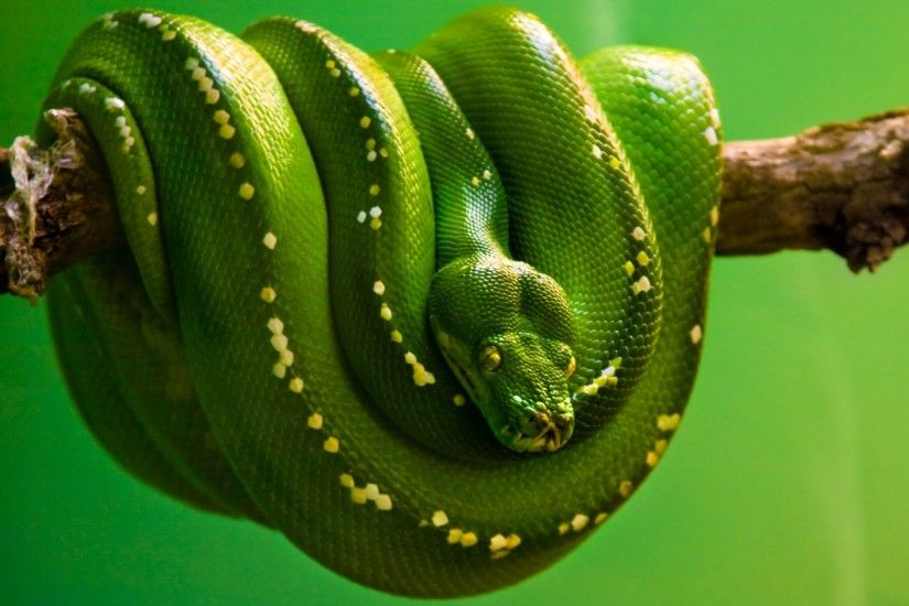 """The eyes of a snake are always open protected by immobile transparent  scales. Prior"