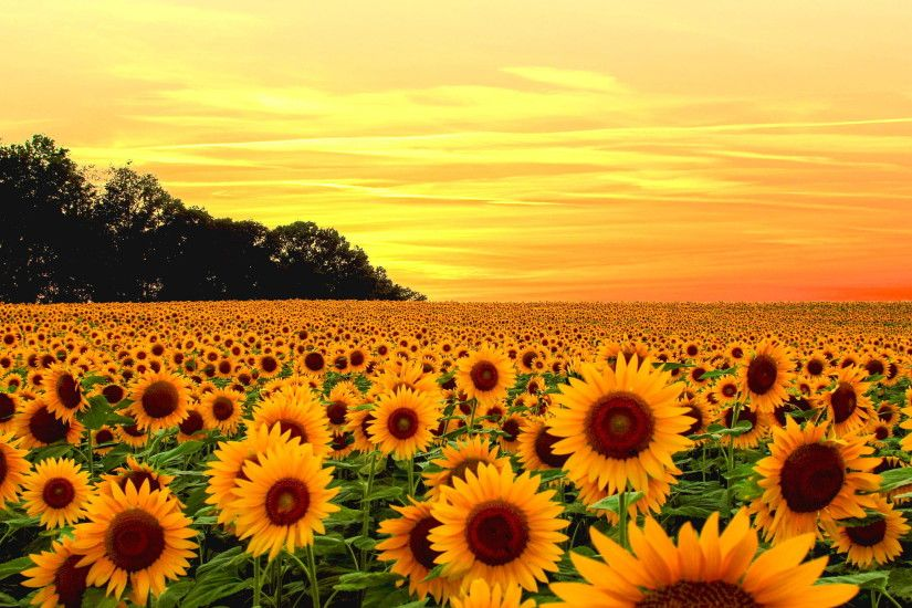 Tags: 2048x1365 Sunflower